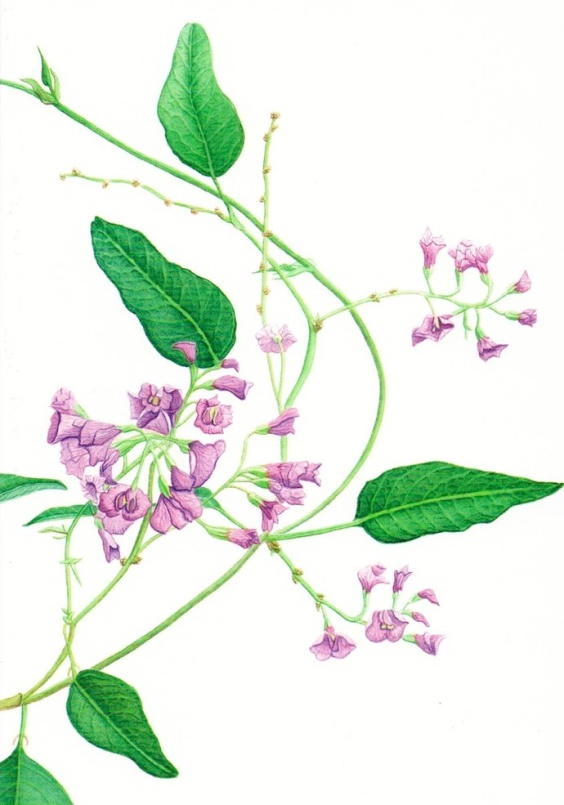 Drawing inspiration from the garden, literally - one of Craig's illustrations. Hardenbergia violate.