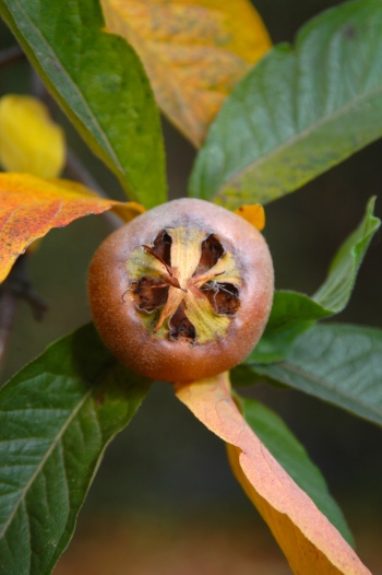 The medlar fruit is like a cross between a pear and a hawthorn and tastes somewhat like a baked cinnamon apple.