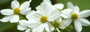 cropped-7-a-white-flowers.jpg