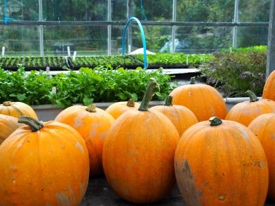 Pumpkin harvest.